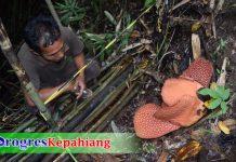 Bunga Rafflesia berkelopak enam