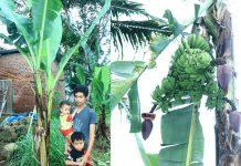 Pohon pisang unik